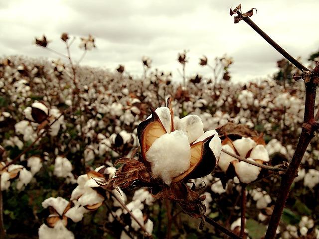 bavlna na poli